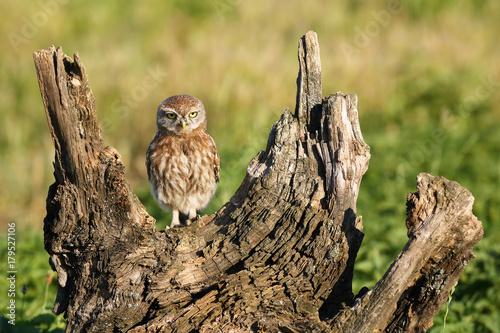 The little owl (Athene noctua) sitting on the dry tree stump