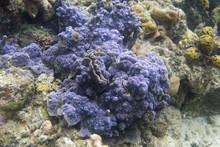Blue Encrusting Coral