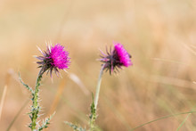 Musk Thistle (Carduus Nutans) In Sunny Day