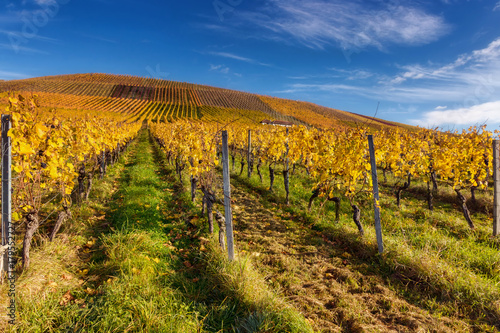 Keuken foto achterwand Wijngaard Colourful vineyards in autumn