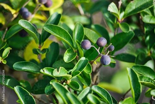 Fotobehang Olijfboom blue raw fruit