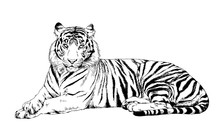 Tiger Drawn With Ink From The ...