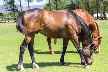 Beautiful Brown Horses Eating ...