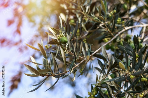 Tuinposter Olijfboom Olive tree. Olives on olive tree branch