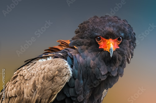In de dag Eagle Bateleur (Terathopius ecaudatus), a medium-sized eagle in the family Accipitridae.