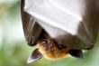 canvas print picture - Flughund hängt kopfüber und bedeckt sein Gesicht mit seinen Flügeln