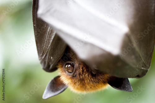 Flughund hängt kopfüber und bedeckt sein Gesicht mit seinen Flügeln