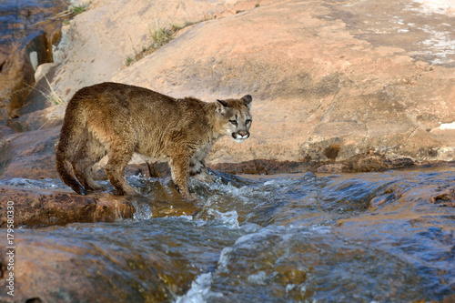 Poster Puma Water and young mountain lion