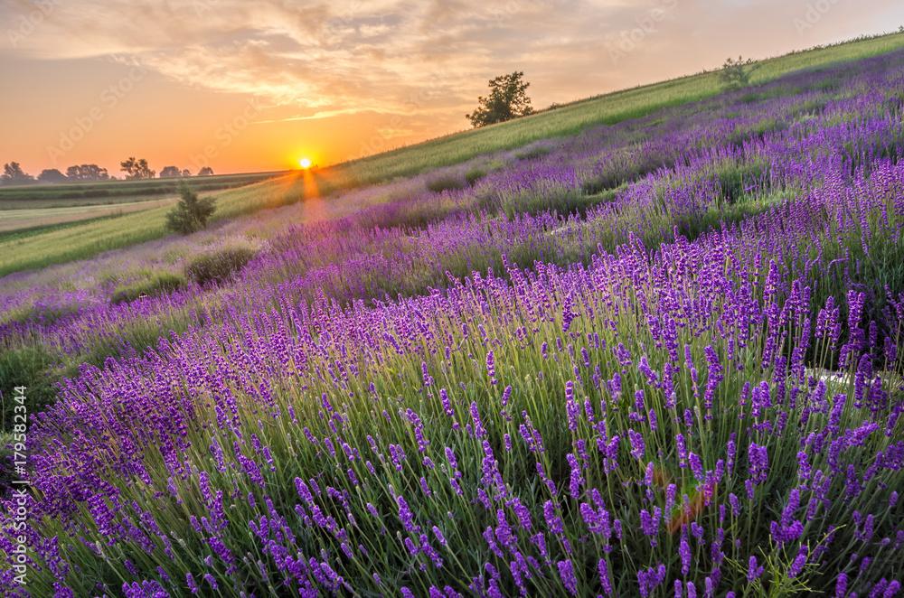 Fototapety, obrazy: Kwitnące pola lawendy w Polsce, wschód słońca