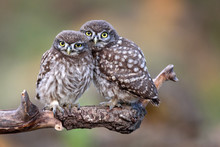 Two Little Owls (Athene Noctua) Sitting On A Stick Pressed Against Each Other.