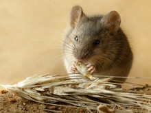 Closeup Small  Vole Mouse Eats...