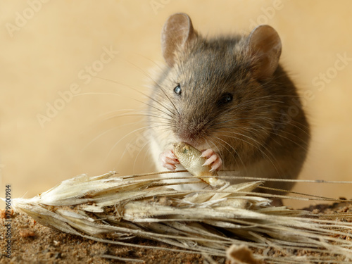 Closeup small  vole mouse eats  grain of rye  near spikelet of rye on the field. Concept of fight with rodents.