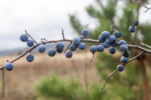 Photo  Prunus spinosa, or blackthorn bush