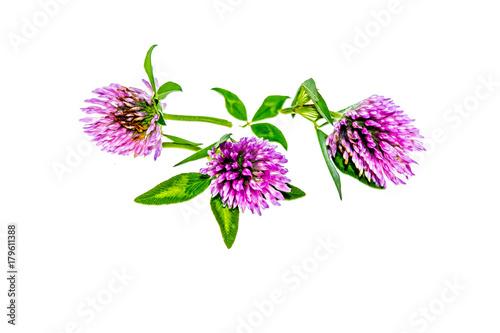 Clover flower on white background