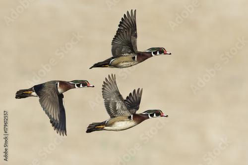 Three Wood ducks male  in flight