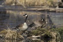 Canada Goose At Nest