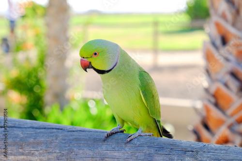 Cuadros en Lienzo Ring-necked parakeet on Fuerteventura, Spain.