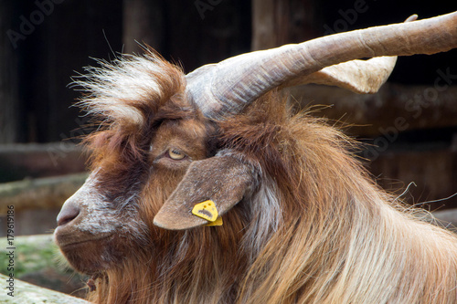 Photo  Domestic billy goat