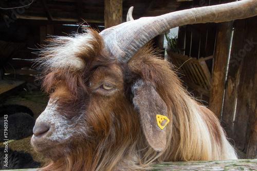 Photo  Domestic billy goat