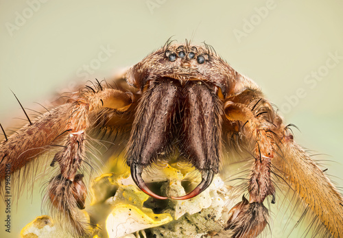Focus Stacking - Giant House Spider, House Spider, Eratigena atrica
