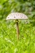 parasol mushroom closeup