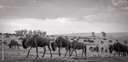 Cuadros en Lienzo  A vast herd of wildebeest follow each other, nose to tail,on the plains of Kenya