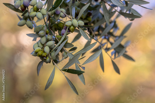 Deurstickers Olijfboom Black olives on branch of olive tree