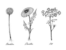 Hand Drawn Of Dandelion And Dill Plants