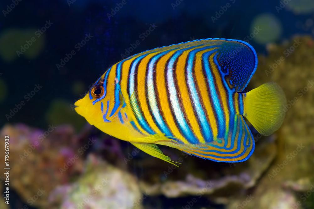 Regal Angelfish, Pygoplites diacanthus, from the Red Sea or Indian Ocean