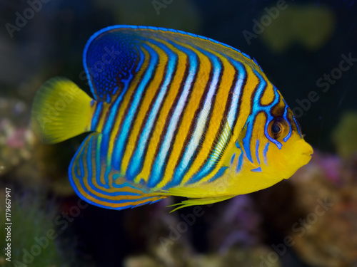 Fototapety, obrazy: Regal Angelfish, Pygoplites diacanthus, from the Red Sea or Indian Ocean