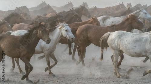 Fotografía  Horses run gallop in dust