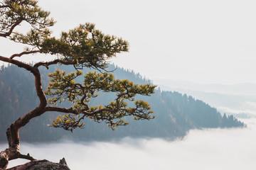 Obraz na SzkleRelict pine on a background of mountains