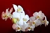 białe storczyki