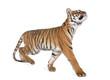 Bengal Tiger, Panthera tigris tigris, 1 year old, walking in front of white background, studio shot
