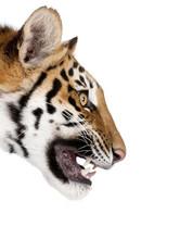 Close-up Profile Of Bengal Tig...