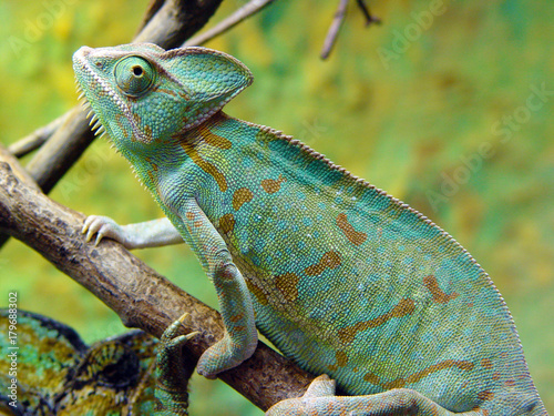 Foto auf AluDibond Chamaleon zmiana barwy