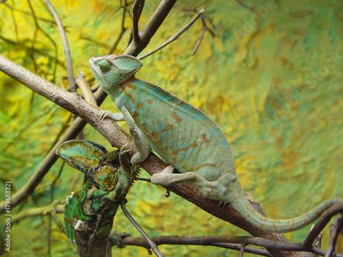 Poster Chamaleon chameleon camouflage