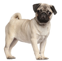 Pug Puppy, 3 Months Old, Standing In Front Of White Background