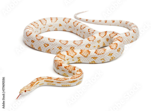 Fotografia Candy cane Corn Snake or Red Rat Snake, Pantherophis guttatus, in front of white