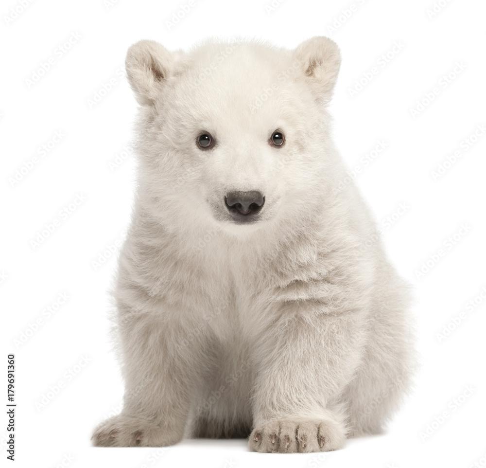 Polar bear cub, Ursus maritimus, 3 months old, sitting against white background