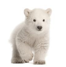 Polar Bear Cub, Ursus Maritimu...