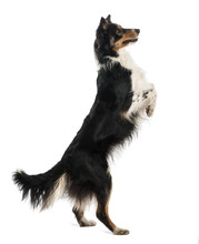 Border Collie Standing On Hind Legs Against White Background