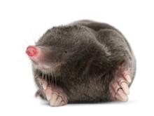 European Mole, Talpa Europaea,...