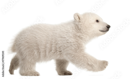 Foto op Aluminium Ijsbeer Polar bear cub, Ursus maritimus, 3 months old, walking against white background