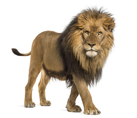 FototapetaSide view of a Lion walking, looking at the camera, Panthera Leo, 10 years old, isolated on white