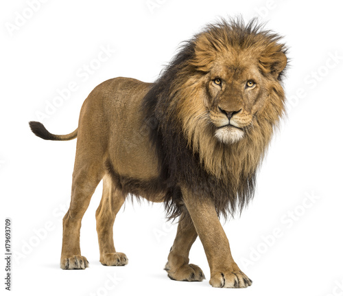 Foto auf Gartenposter Löwe Side view of a Lion walking, looking at the camera, Panthera Leo, 10 years old, isolated on white