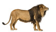 canvas print picture - Side view of a Lion roaring, standing, Panthera Leo, 10 years old, isolated on white