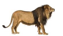 Side View Of A Lion Roaring, S...