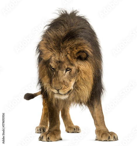 Papiers peints Hyène Lion standing, looking down, Panthera Leo, 10 years old, isolate