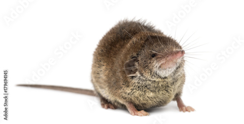 Fotografie, Obraz  White-toothed shrew, isolated on white